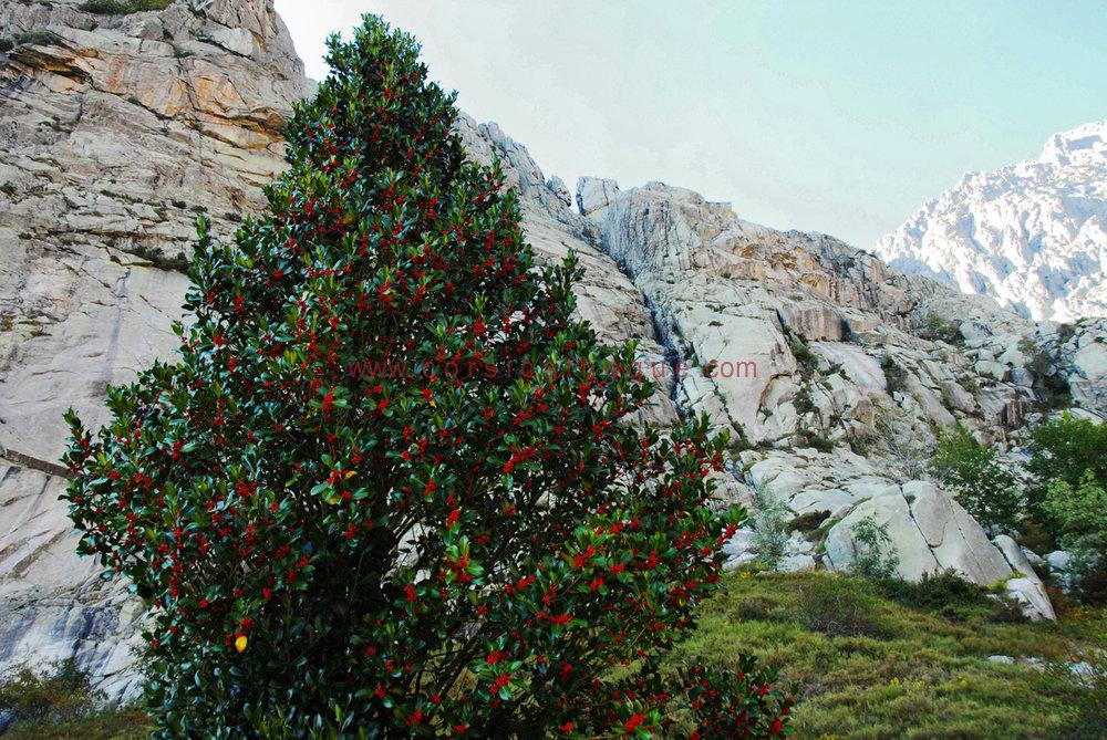 Houx flore terre et mer accueil 1er m dia culturel corse corsicathe - Arbre ornemental feuillage persistant ...